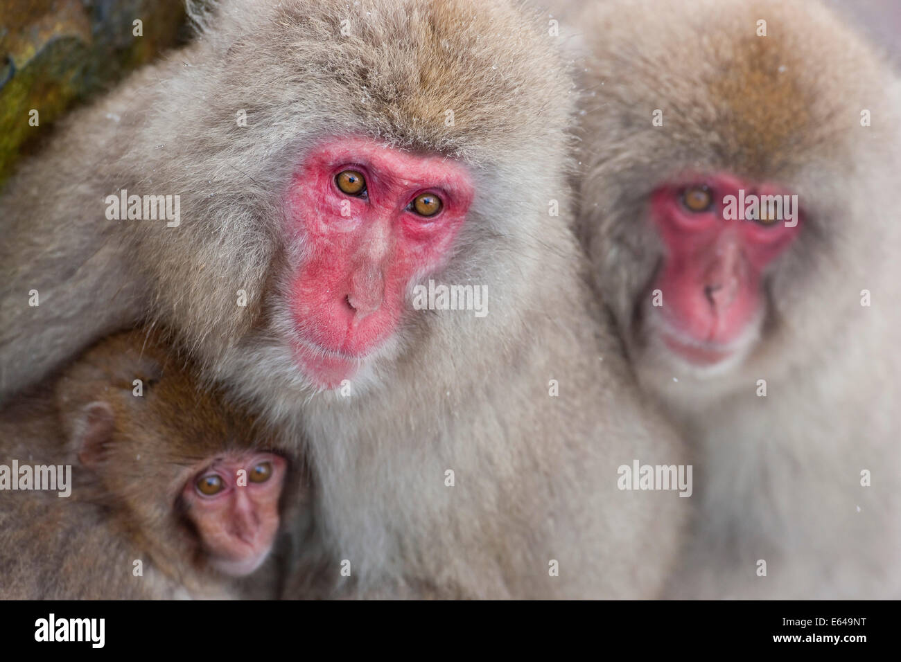 Japanese macaque (Macaca fuscata)/ Snow monkey, Joshin-etsu National Park, Honshu, Japan Stock Photo