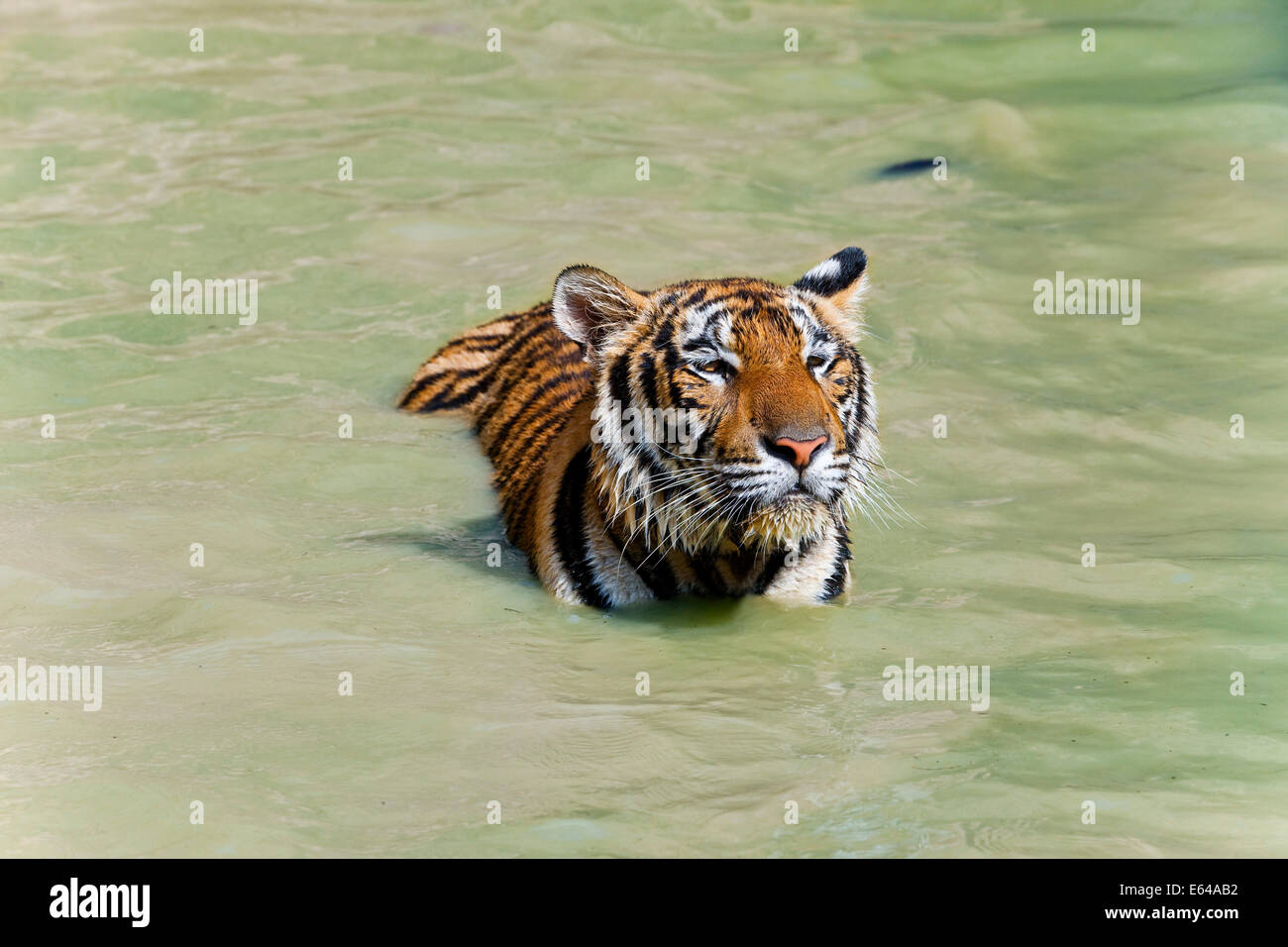 Tigers playing in water, Indochinese tiger or Corbett's tiger (Panthera tigris corbetti), Thailand - Stock Image