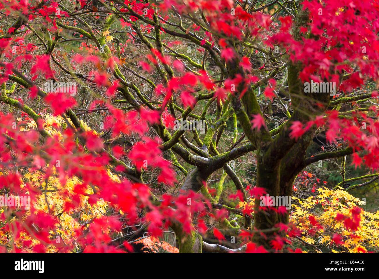 Autumn colour, Westonbirt, Gloucestershire, UK - Stock Image