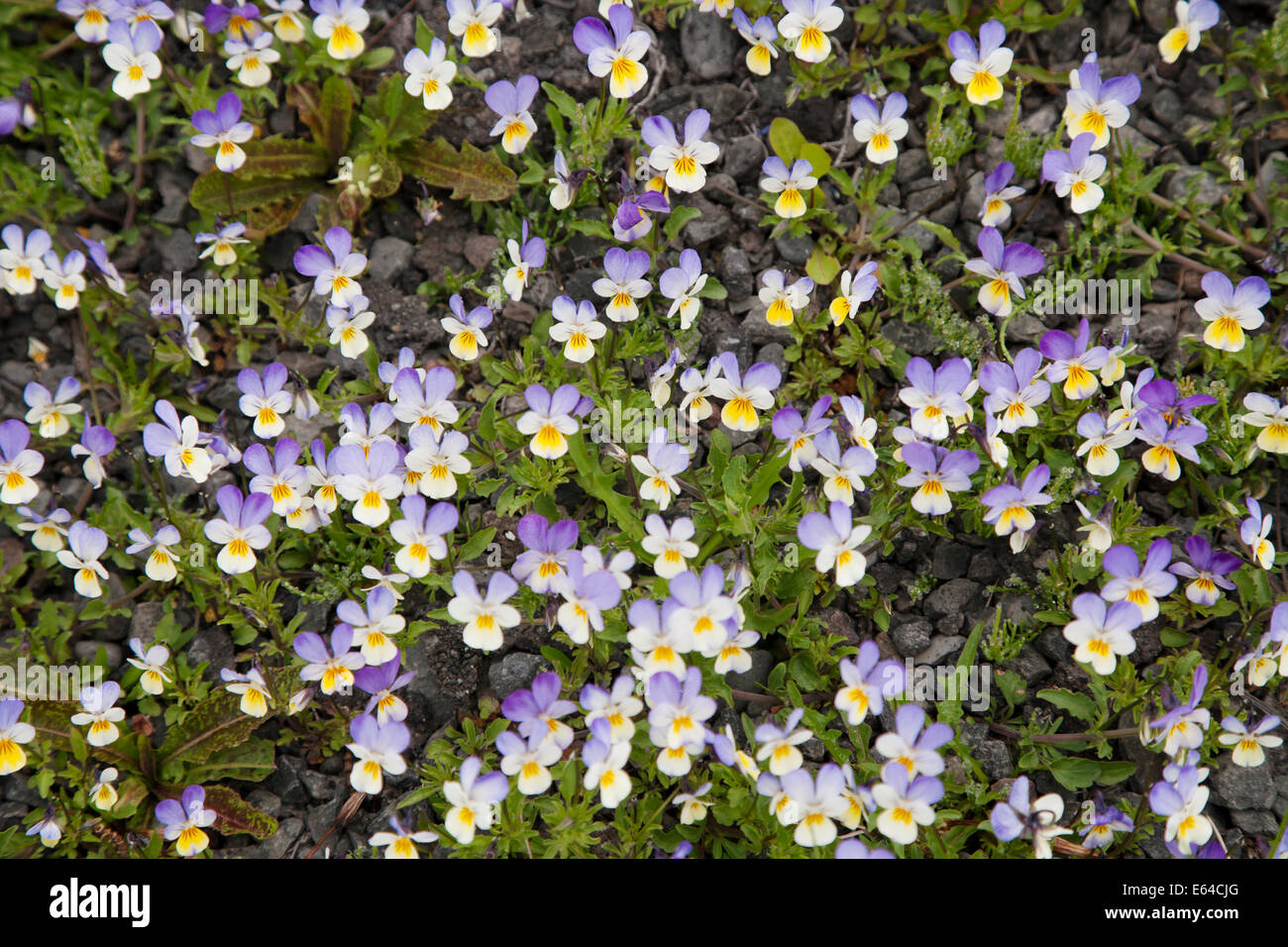 Wild Pansy Viola tricolor Iceland PL002233 - Stock Image
