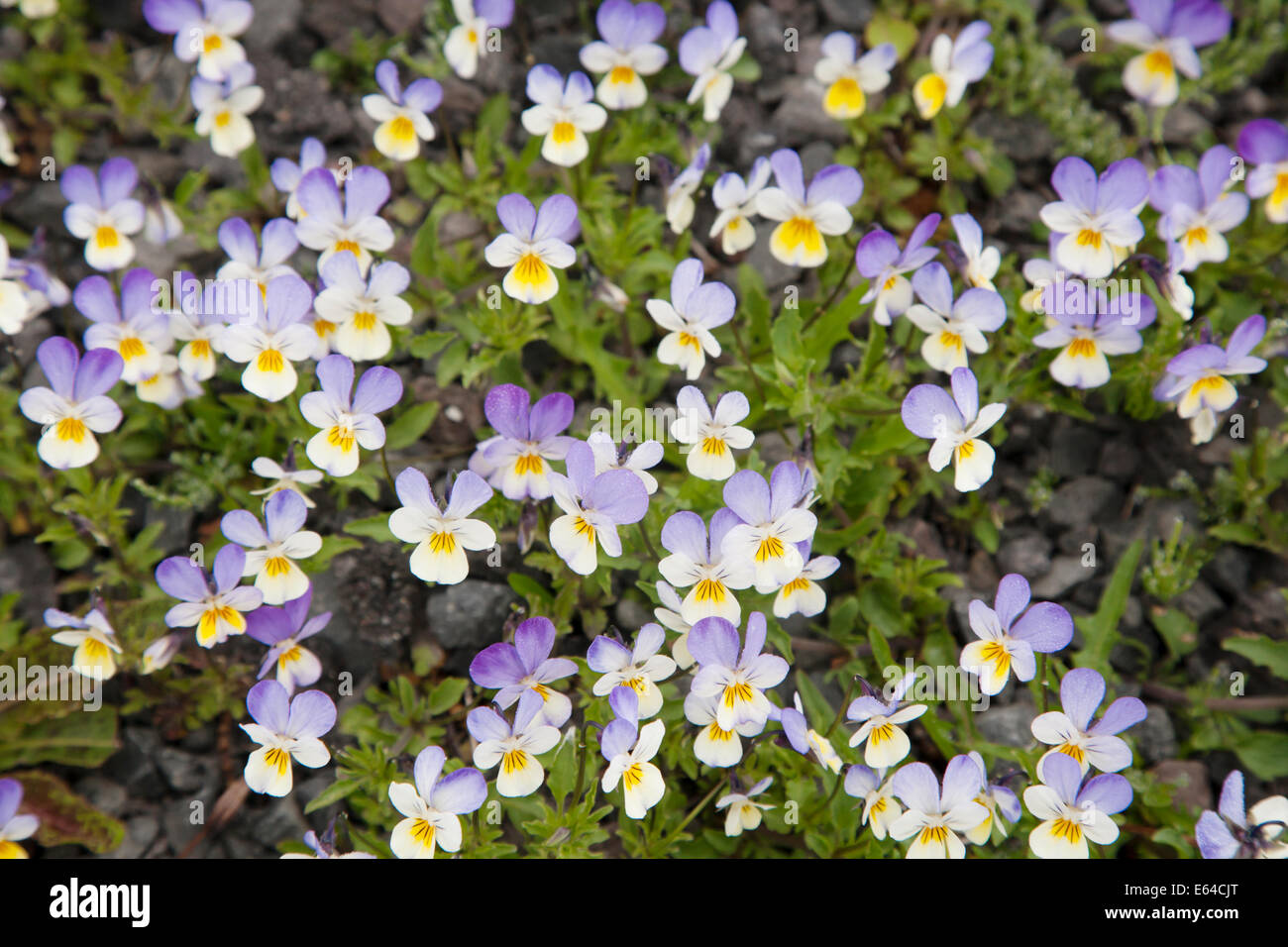 Wild Pansy Viola tricolor Iceland PL002234 - Stock Image