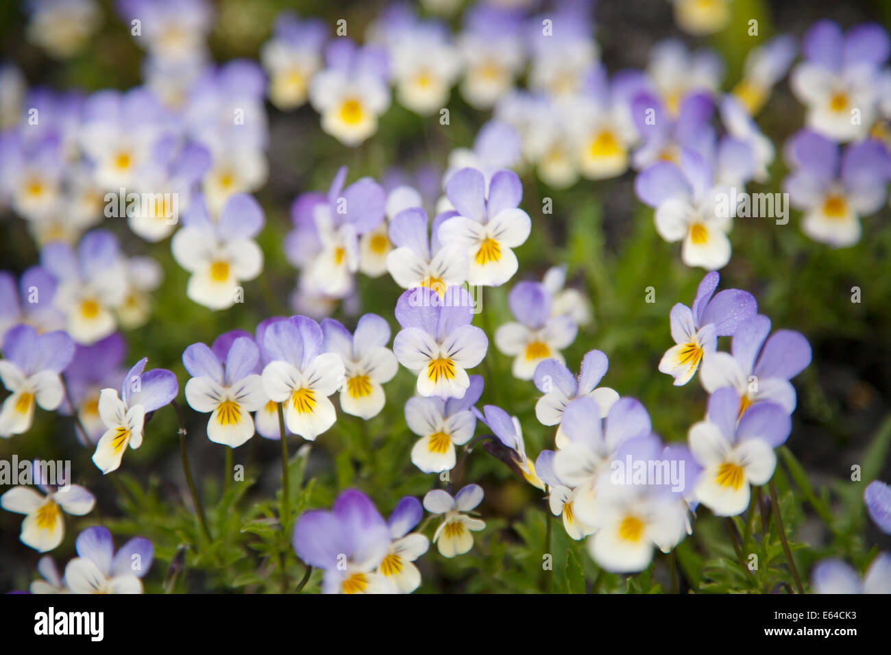 Wild Pansy Viola tricolor Iceland PL002235 - Stock Image