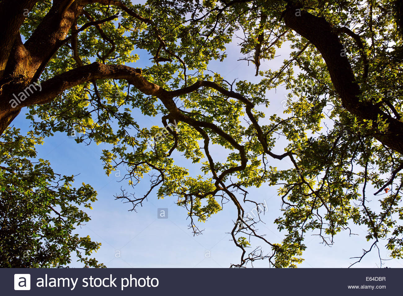 looking up to the canopy of oak tree quercus robur fagaceae tree against a blue summer sky - Stock Image