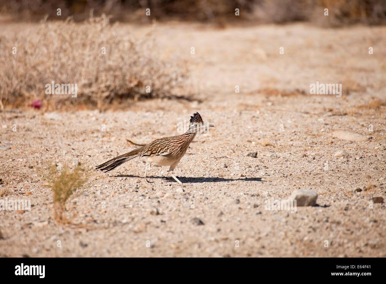 Roadrunner (Geococcyx californianus) in the desert near Palm Springs, California, United States of America, USA - Stock Image