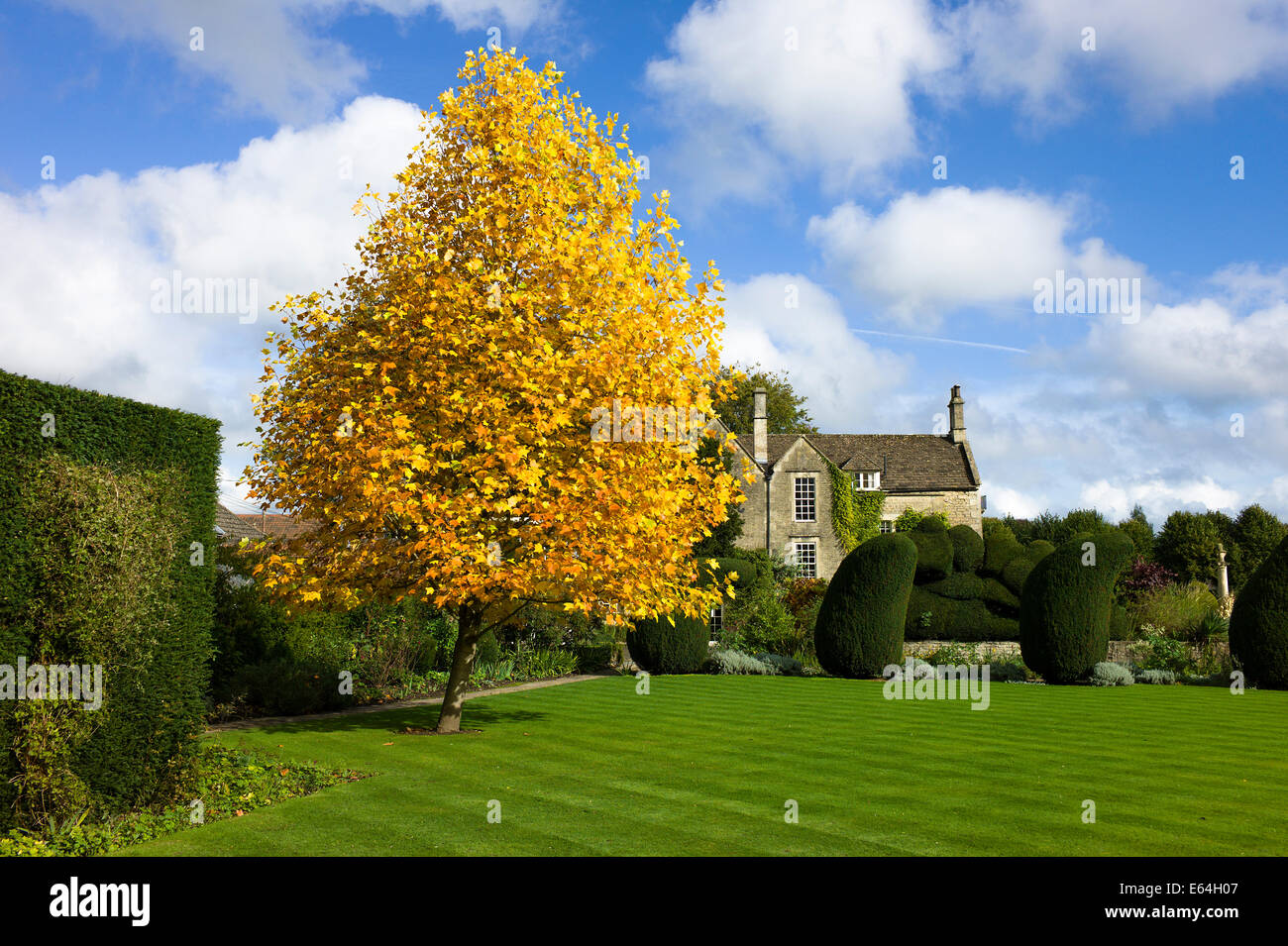 Young tulip tree in autumn - Stock Image