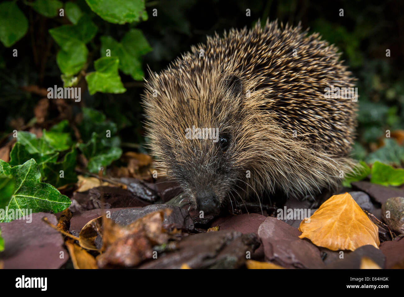 The Western Hedgehog - The only species of European hedgehog found in the British Isles (Erinaceus europaeus). A - Stock Image