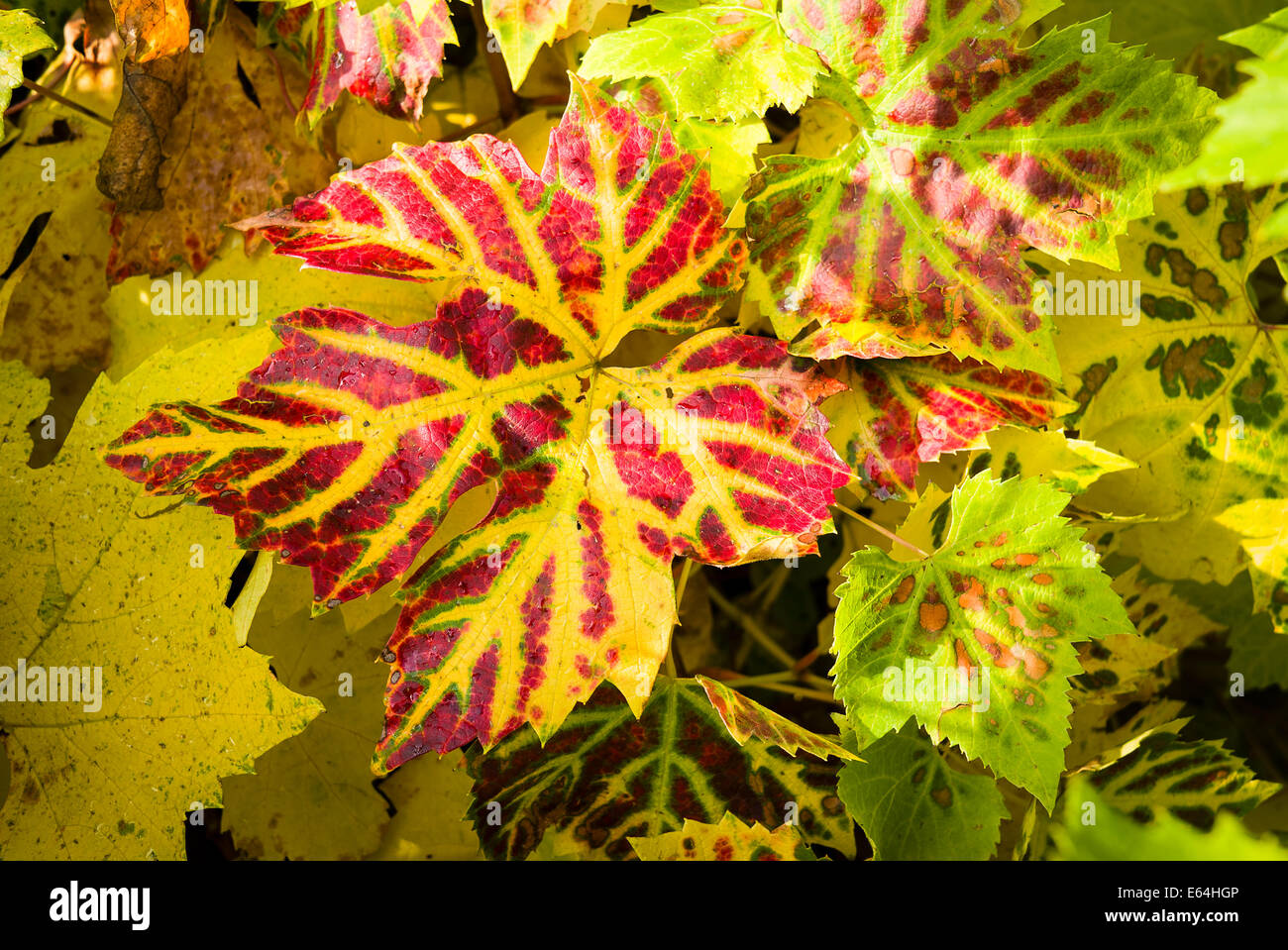 Autumnal tints on grape vine leaves in UK - Stock Image