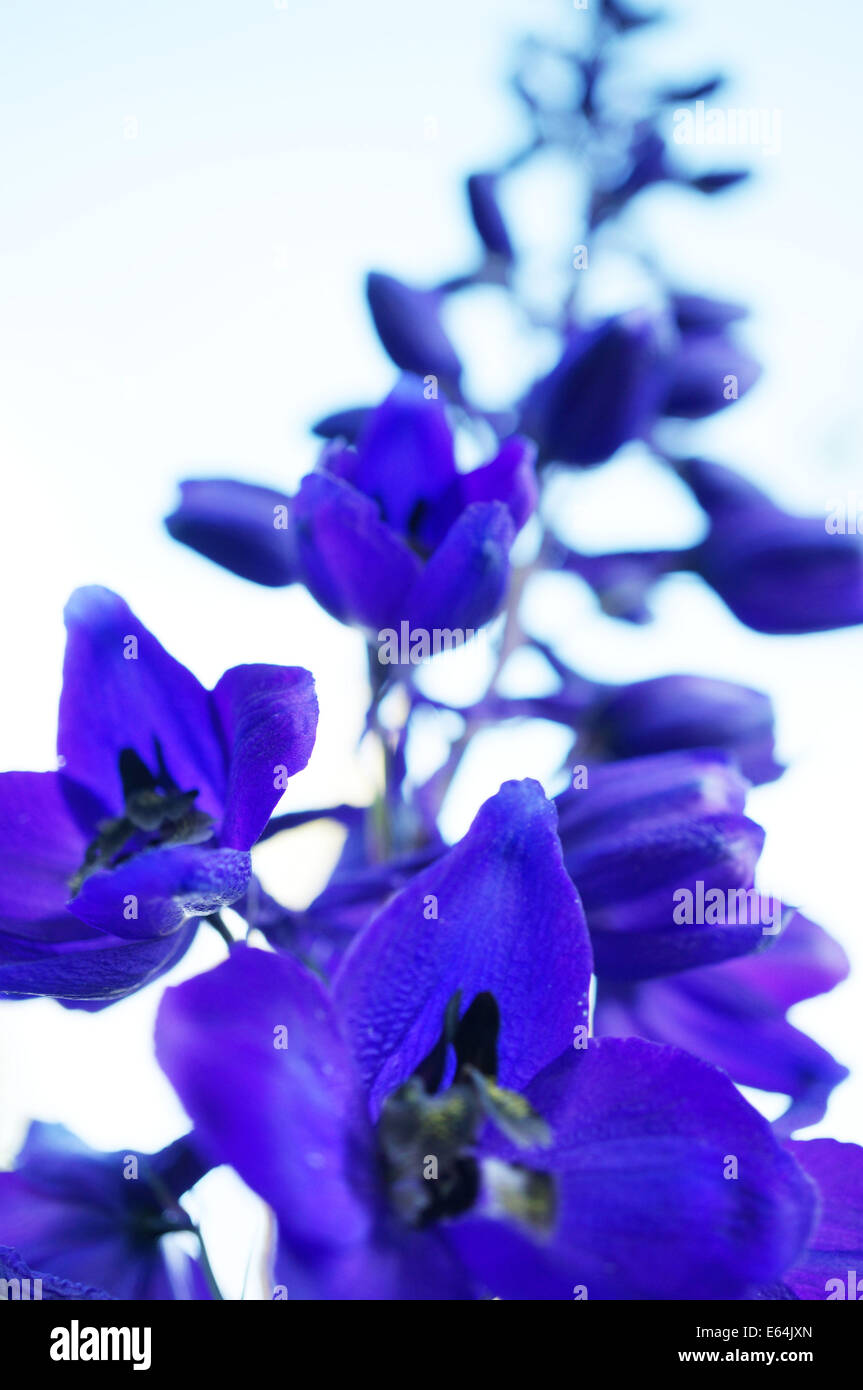A close-up of a beautiful dark blue violet delphinium flower Stock Photo