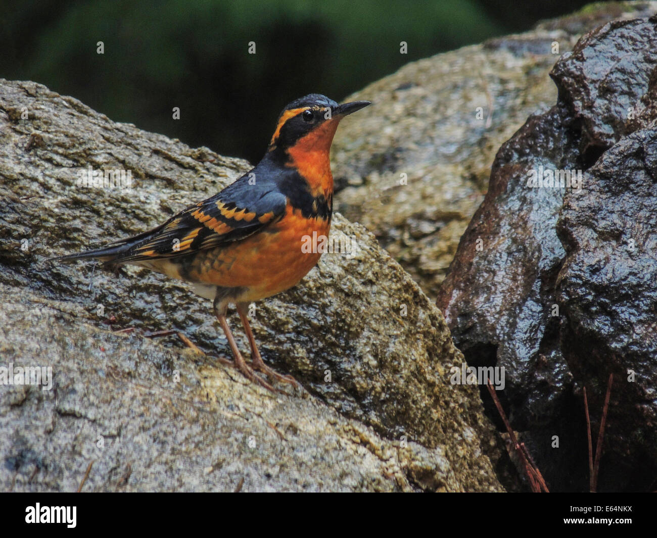A Varied Thrush Male , Sierra Foothills of Northern California. - Stock Image
