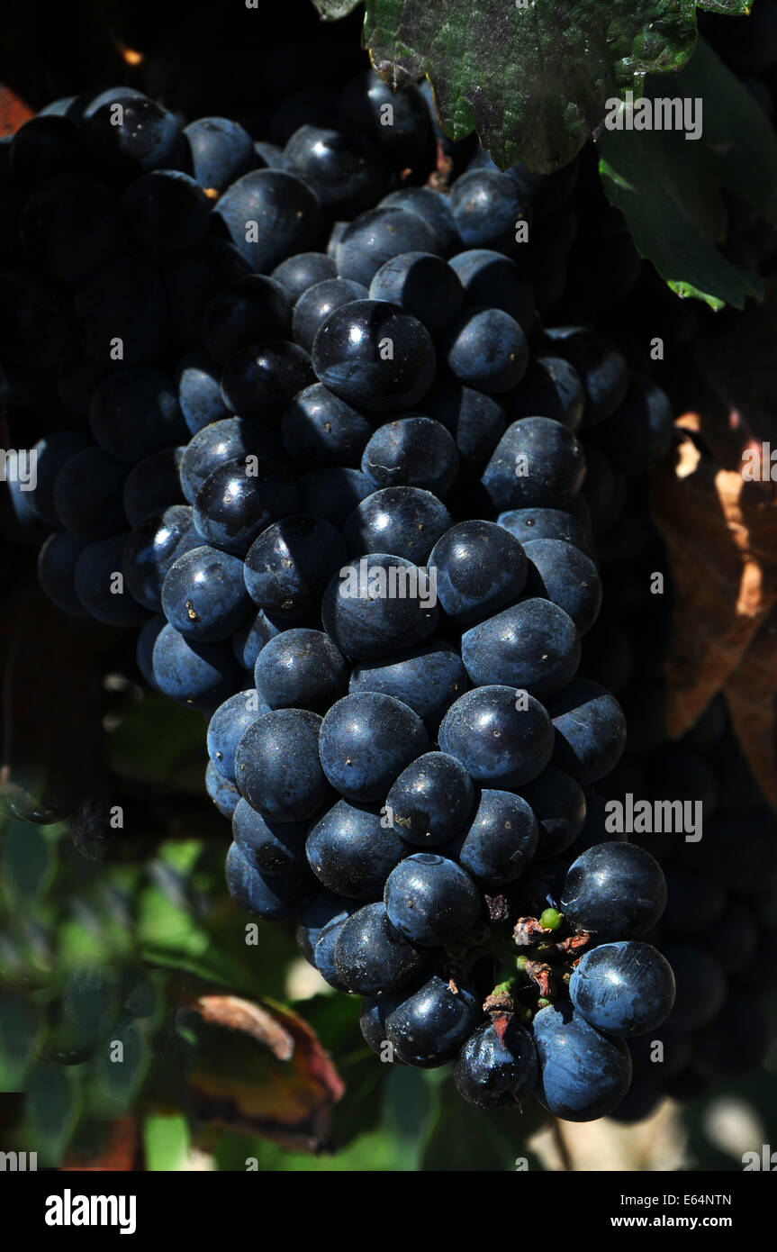 A Bunch of purple Cabernet grapes in Napa Valley, CA - Stock Image