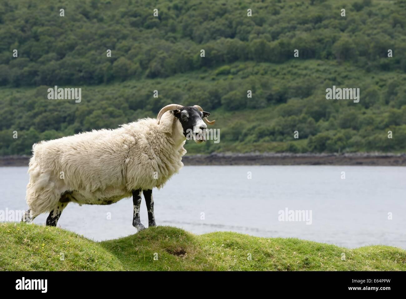 Blackface sheep roaming the Scottish landscape - Stock Image
