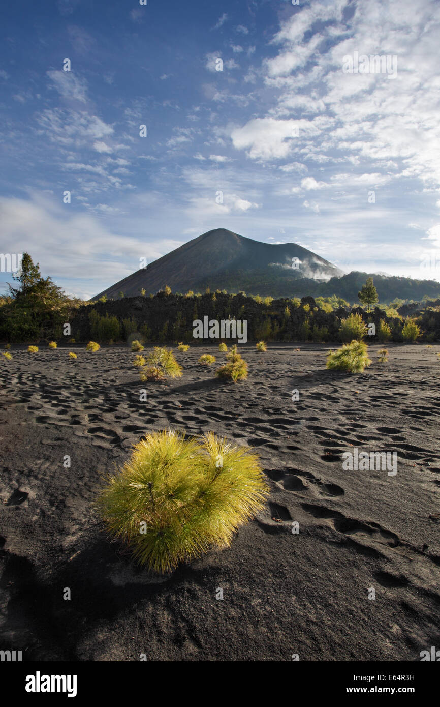 Baby pines grow in lava dust on the path to climb the Paricutin volcano in Michoacan, Mexico. - Stock Image
