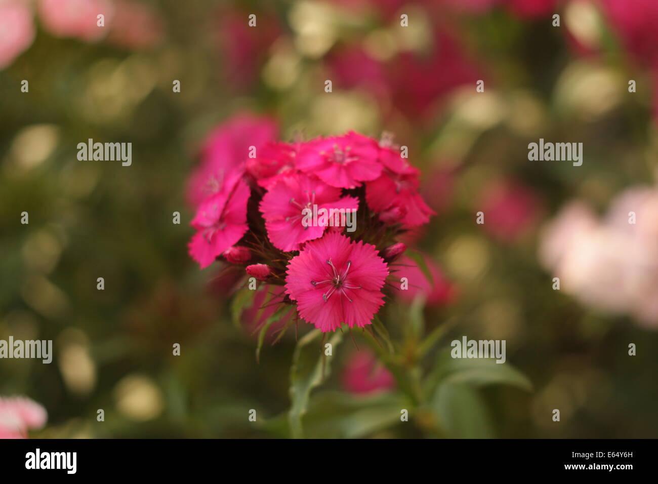 Sweet William flowers, Dianthus barbatus close-up. - Stock Image