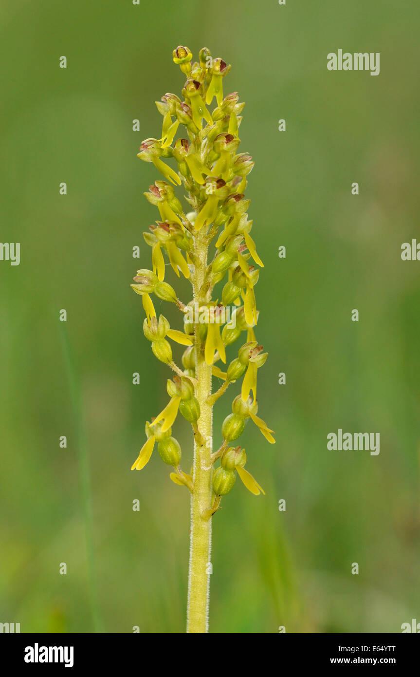 Common Twayblade Orchid - Listera ovata Machair Grassland - Stock Image