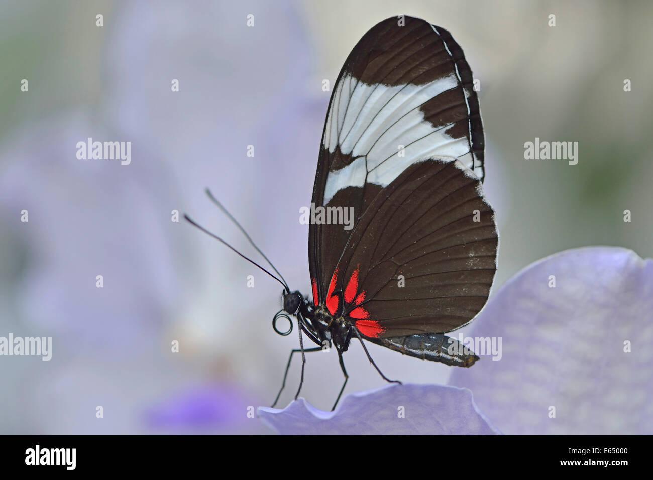 Sapho Longwing (Heliconius sapho), State Garden Show, Papenburg, Emsland, Lower Saxony, Germany - Stock Image