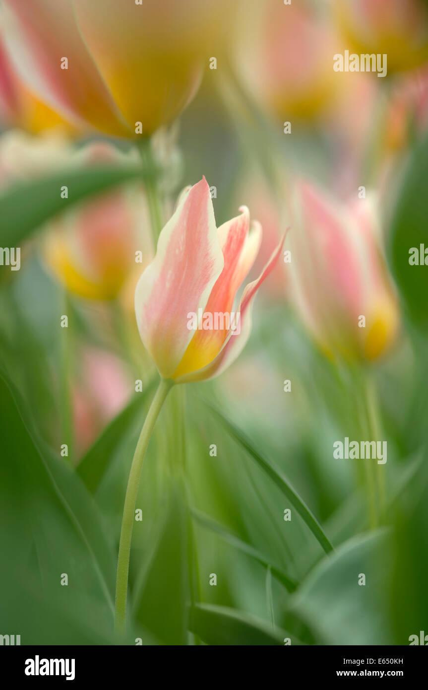 Tulips (Tulipa), Baden-Württemberg, Germany - Stock Image