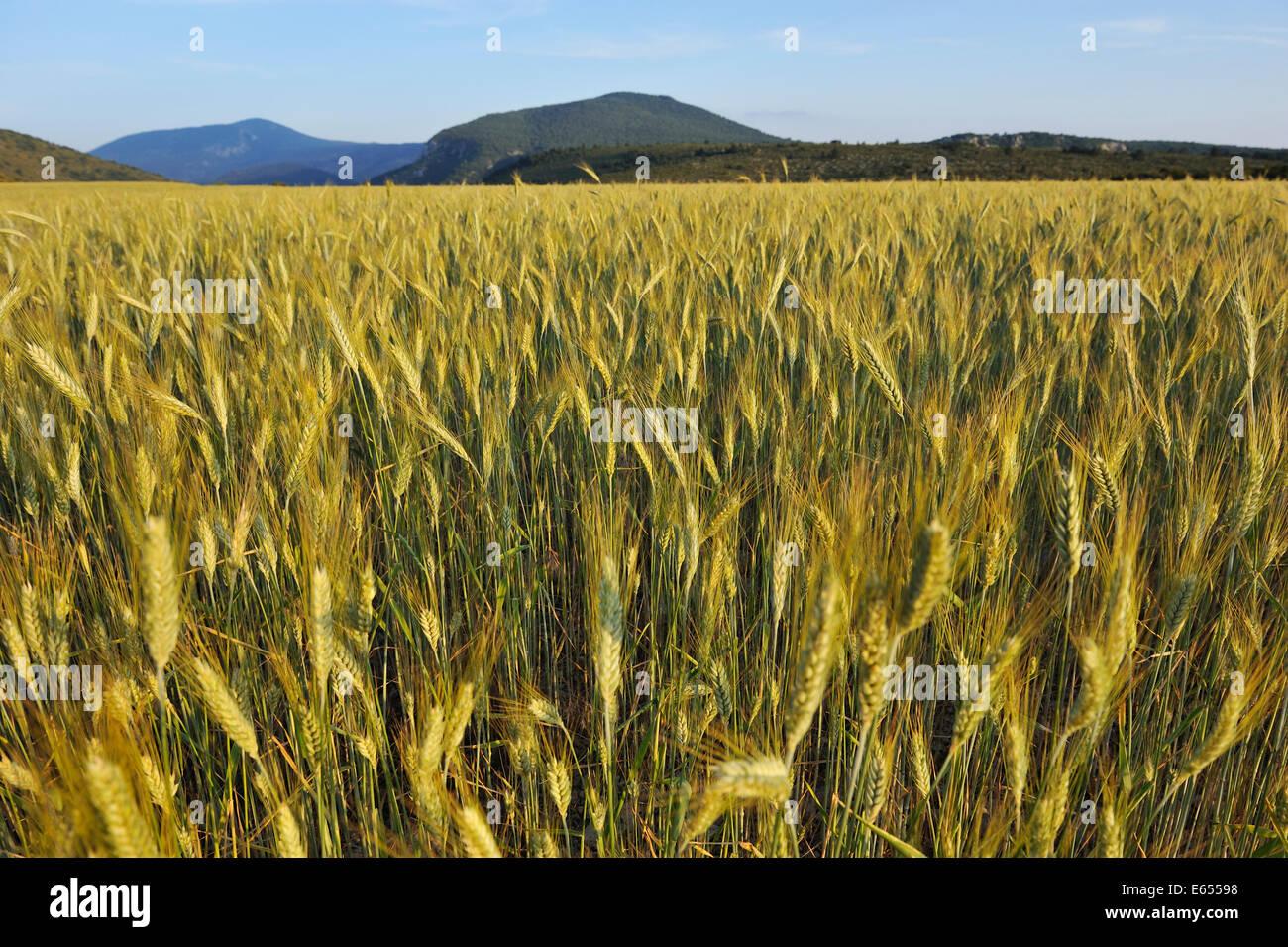 Wheat field, Gorges du Verdon, Provence, France, Europe - Stock Image