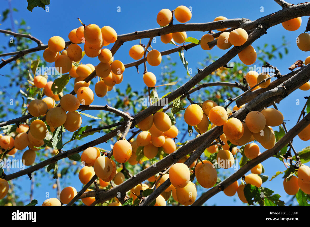 Plums on tree branches in summer - Stock Image