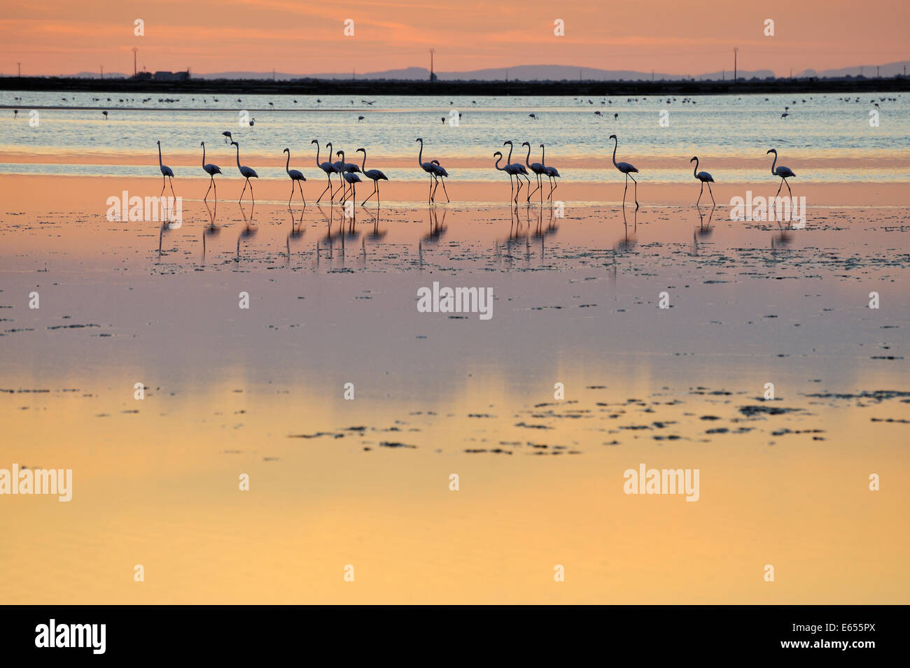 Greater flamingos (Phoenicopterus ruber) in a lake at sunset, Camargue, France, Europe - Stock Image