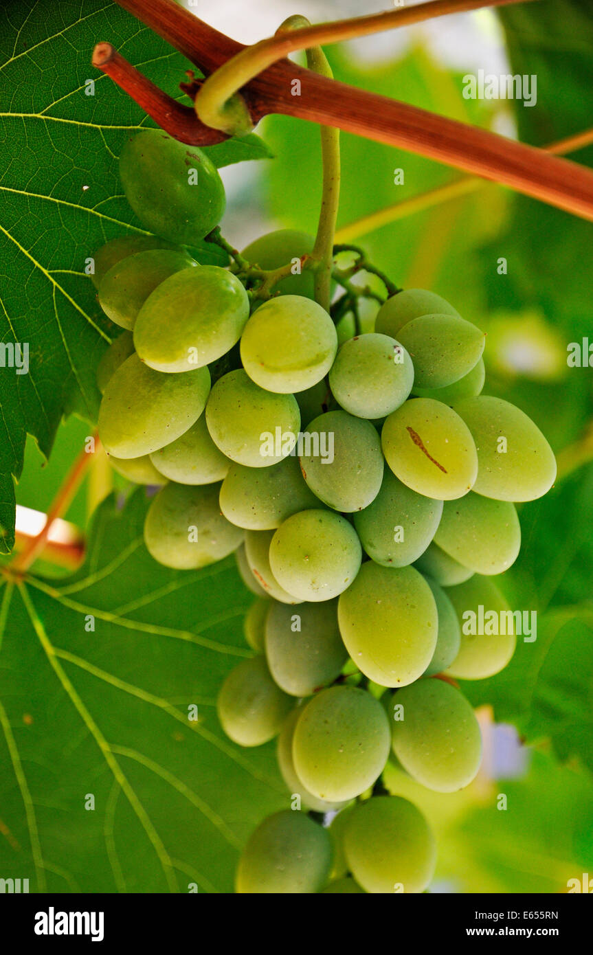 Green grapes and vine leaves, France, Europe - Stock Image