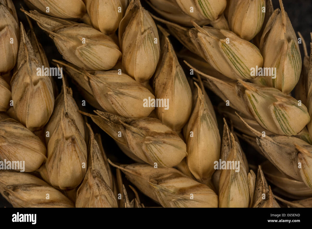 Close-up of wheat (Triticum sp.) ears (slightly green state on right hand side). Visual metaphor for concept of - Stock Image