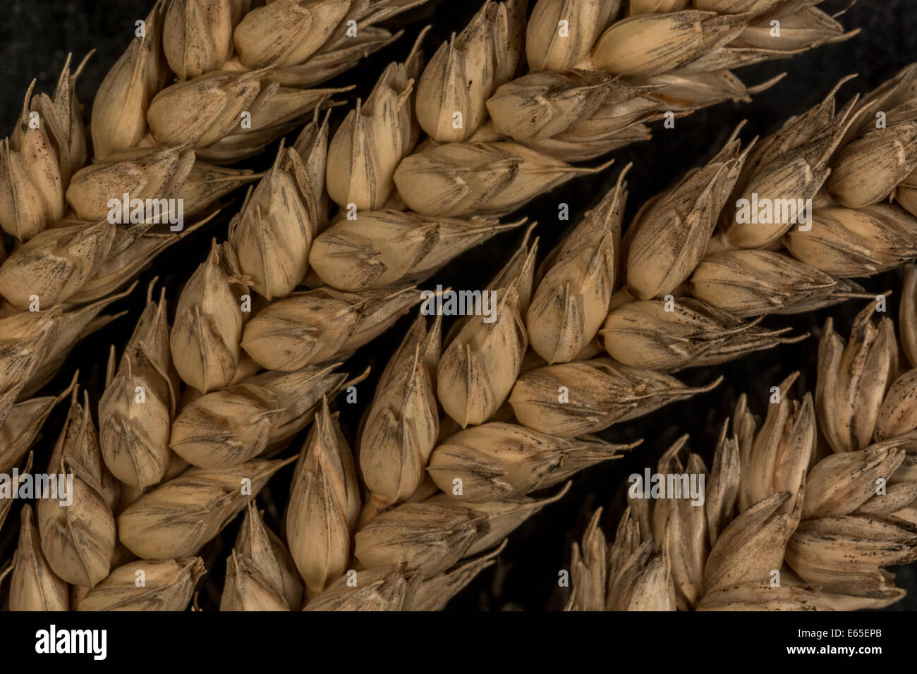 Close-up of wheat (Triticum sp.) ears. Visual metaphor for concept of famine. Metaphor for food security / growing - Stock Image