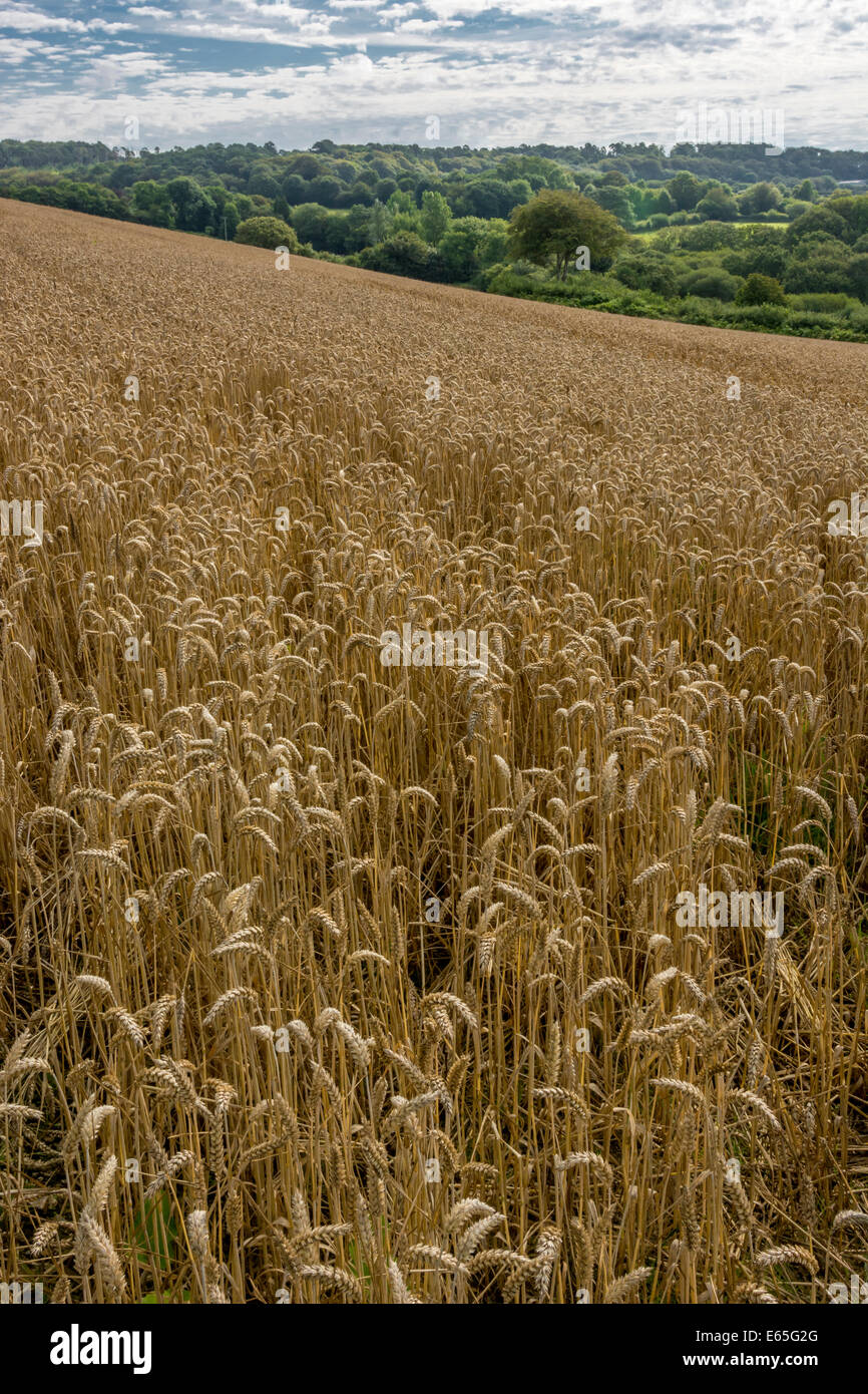Summer wheat field in mid-Cornwall (focus on stalks in lower half of image). Visual metaphor for concept of famine. - Stock Image