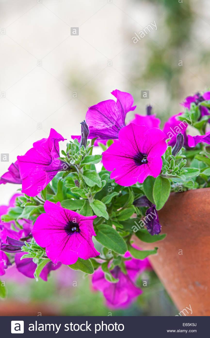 Petunia in a pot - Stock Image