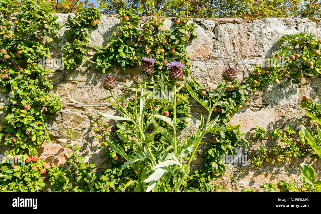 PITMEDDEN GARDENS ABERDEENSHIRE SCOTLAND GIANT THISTLES IN FRONT OF A WALL OF ESPALIER APPLE TREES - Stock Image