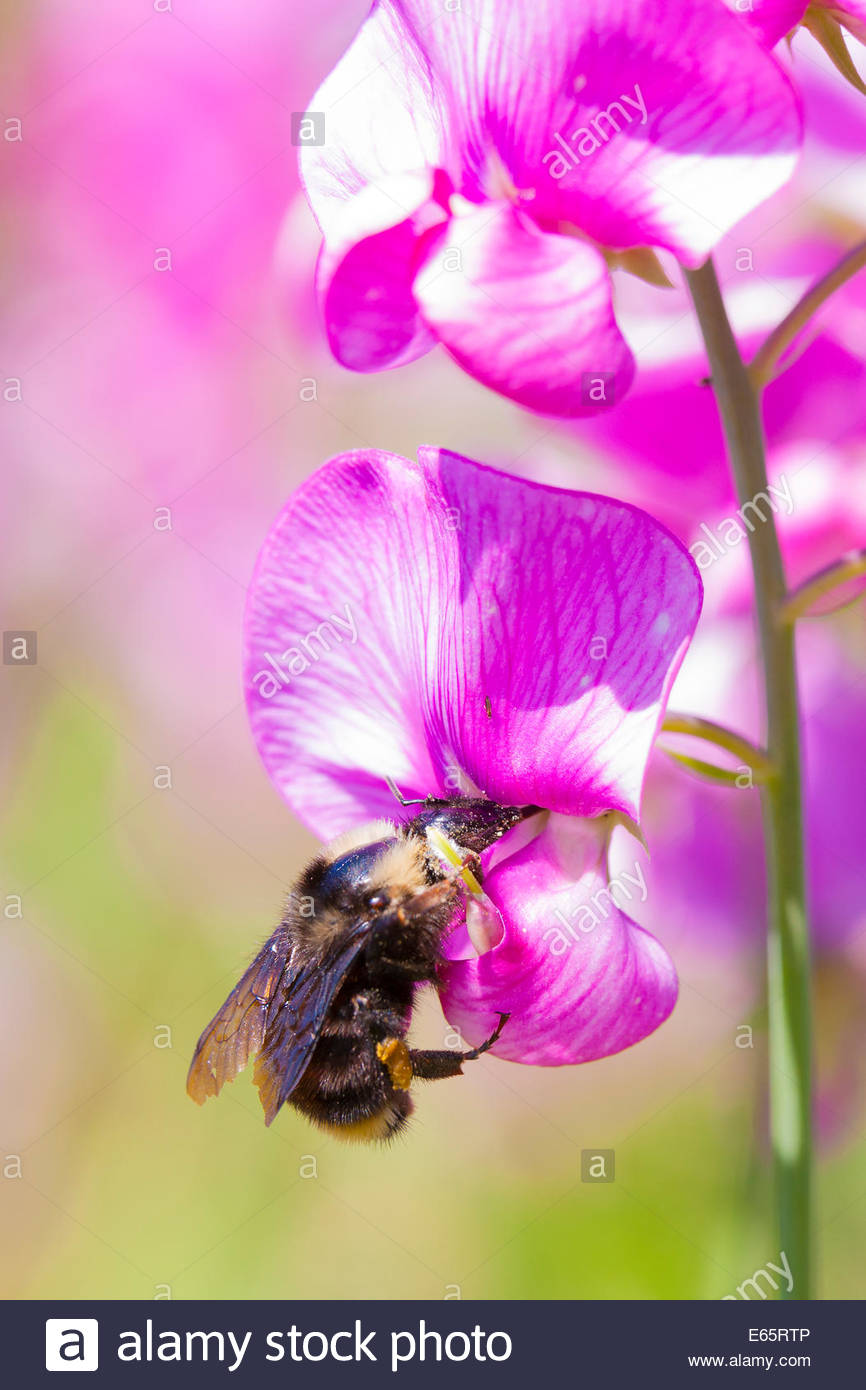 A bumblebee reaches in to harvest pollen from a sweet pea (Lathyrus odoratus) flower in Discovery Park, Seattle, - Stock Image