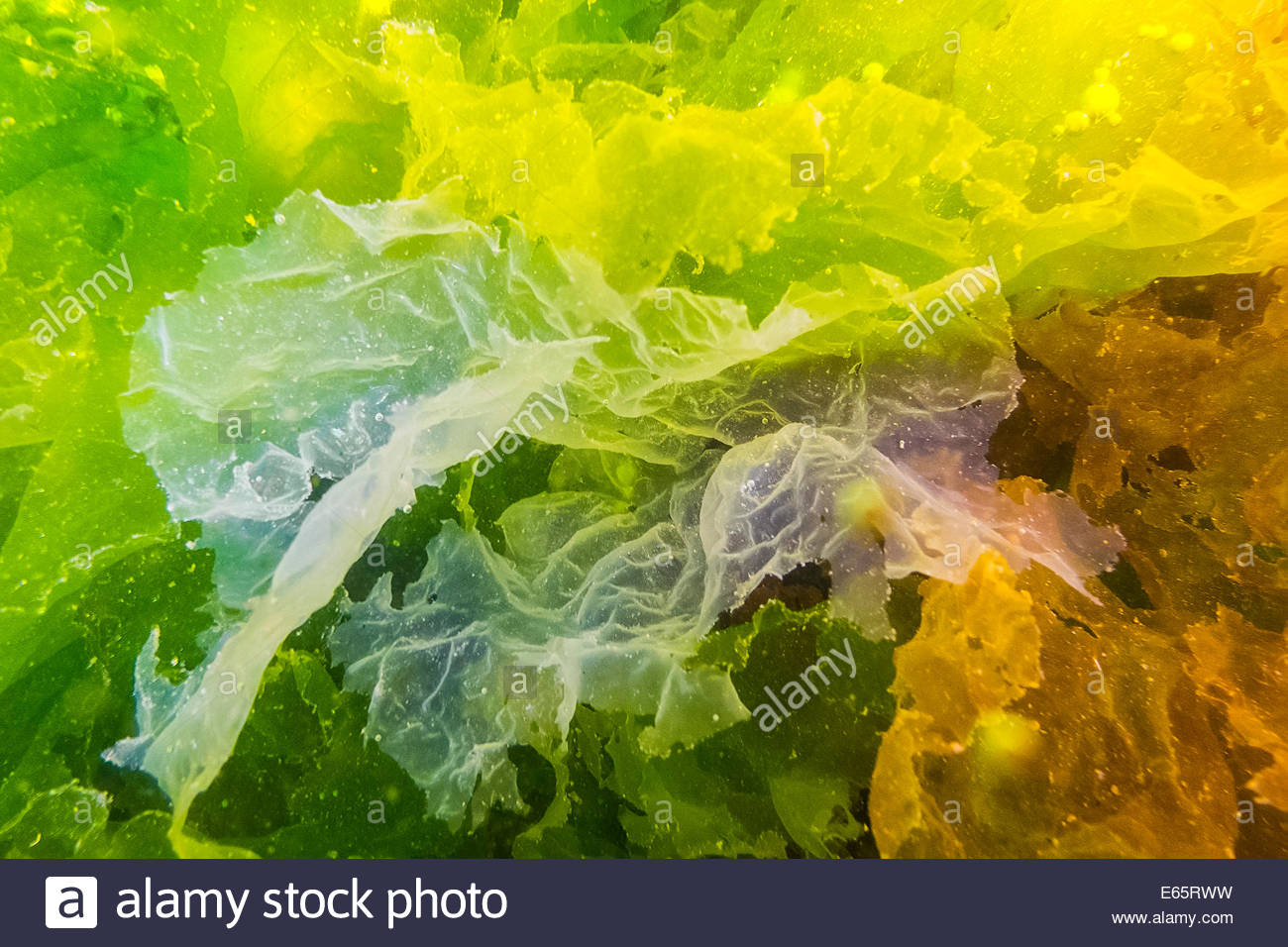 Sea lettuce in a variety of colors grows in a tide pool on Des Moines Beach, Des Moines, Washington. - Stock Image