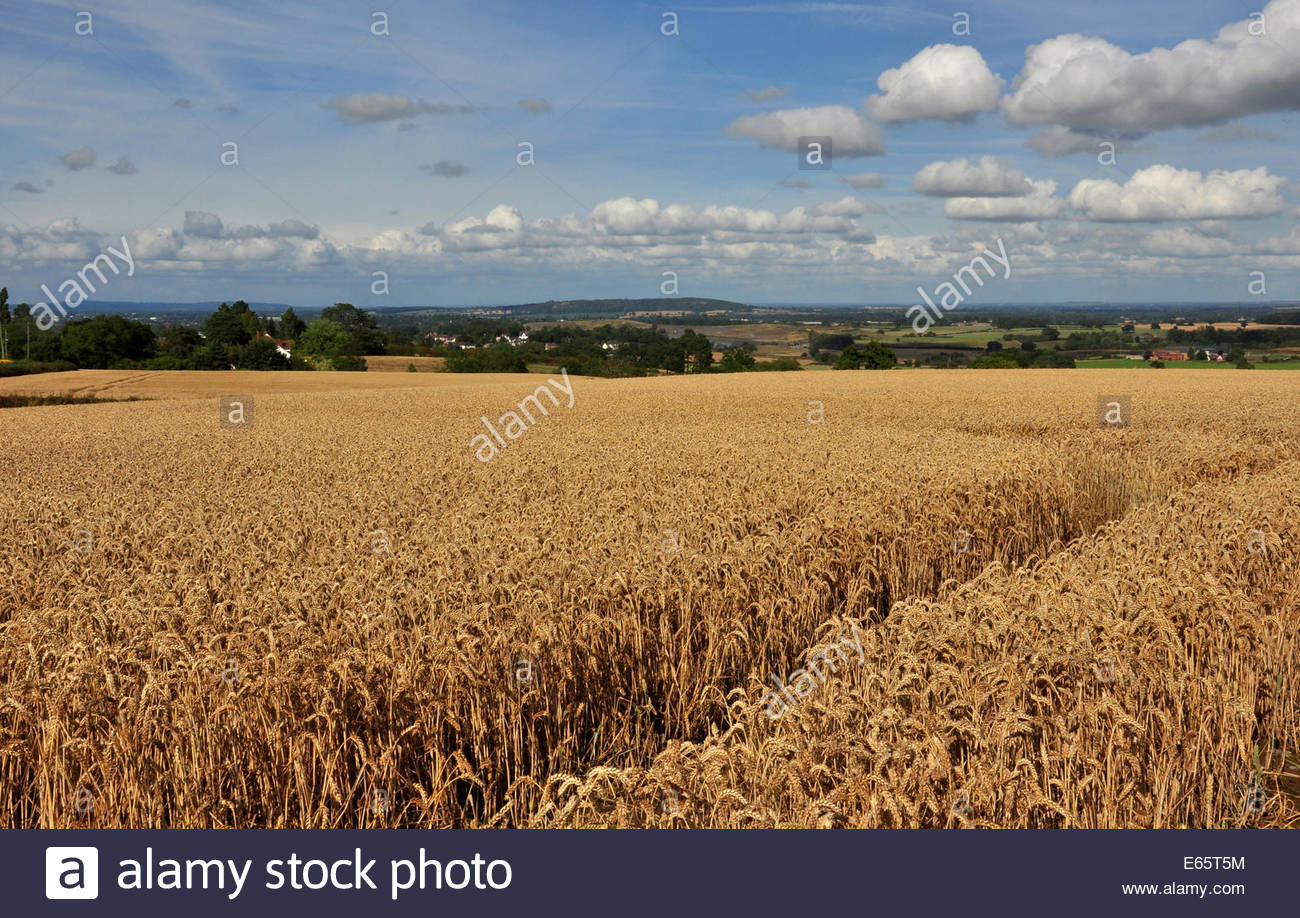 A wheat field in the Shropshire countryside, UK - Stock Image