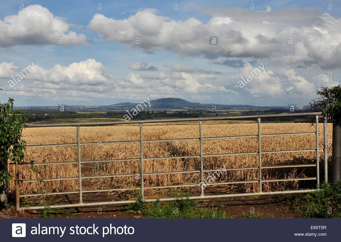 A wheat field with gate in Shropshire, UK - Stock Image