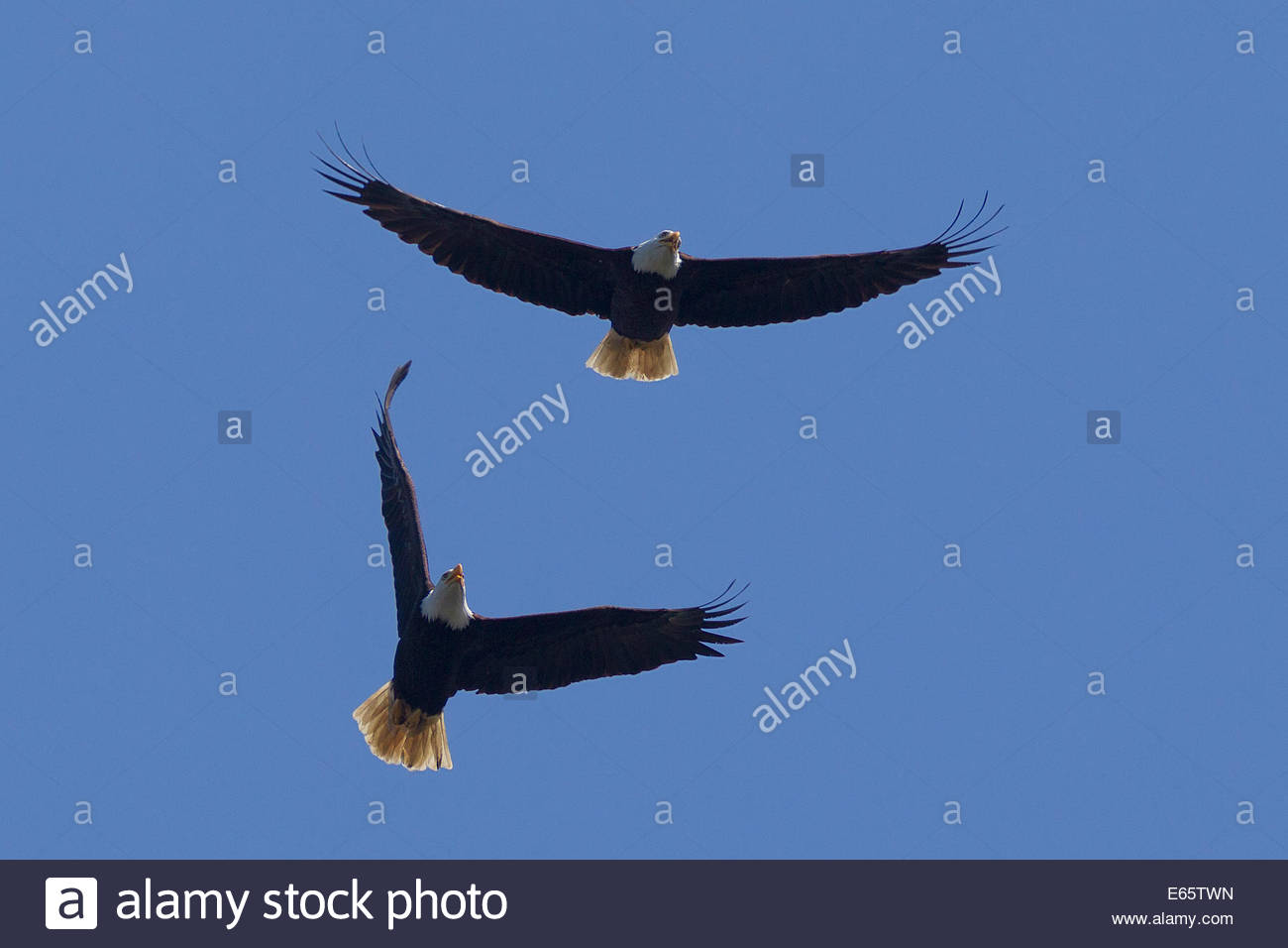 A bald eagle (Haliaeetus leucocephalus) chases another in the sky over Hood Canal near Seabeck, Washington. - Stock Image