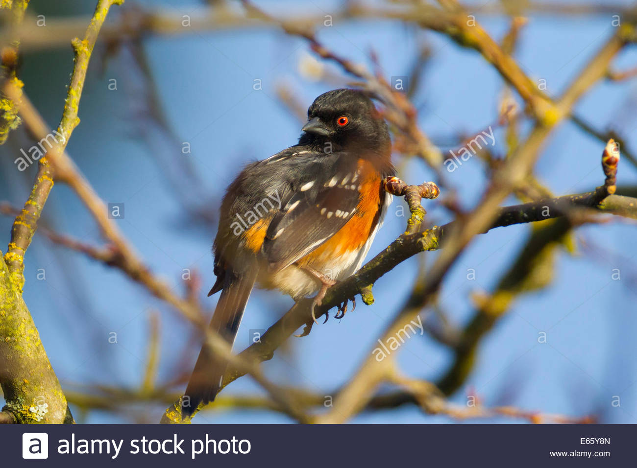 A spotted towhee (Pipilo maculatus) rests in a bare tree in early spring in Snohomish County, Washington. - Stock Image