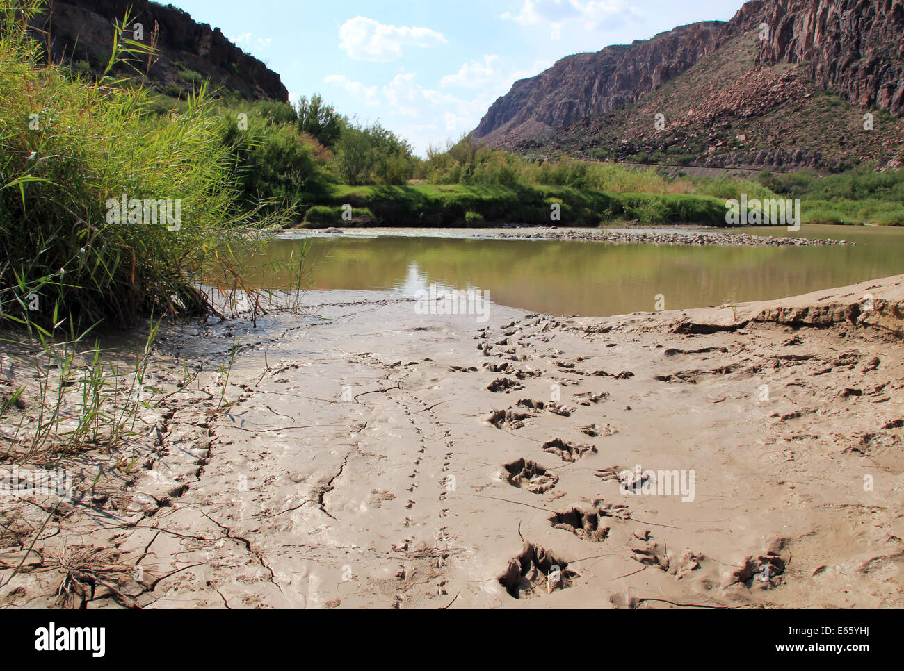 Fresh Black Bear Tracks in Mud, Big Bend Ranch State Park, Texas, United States - Stock Image