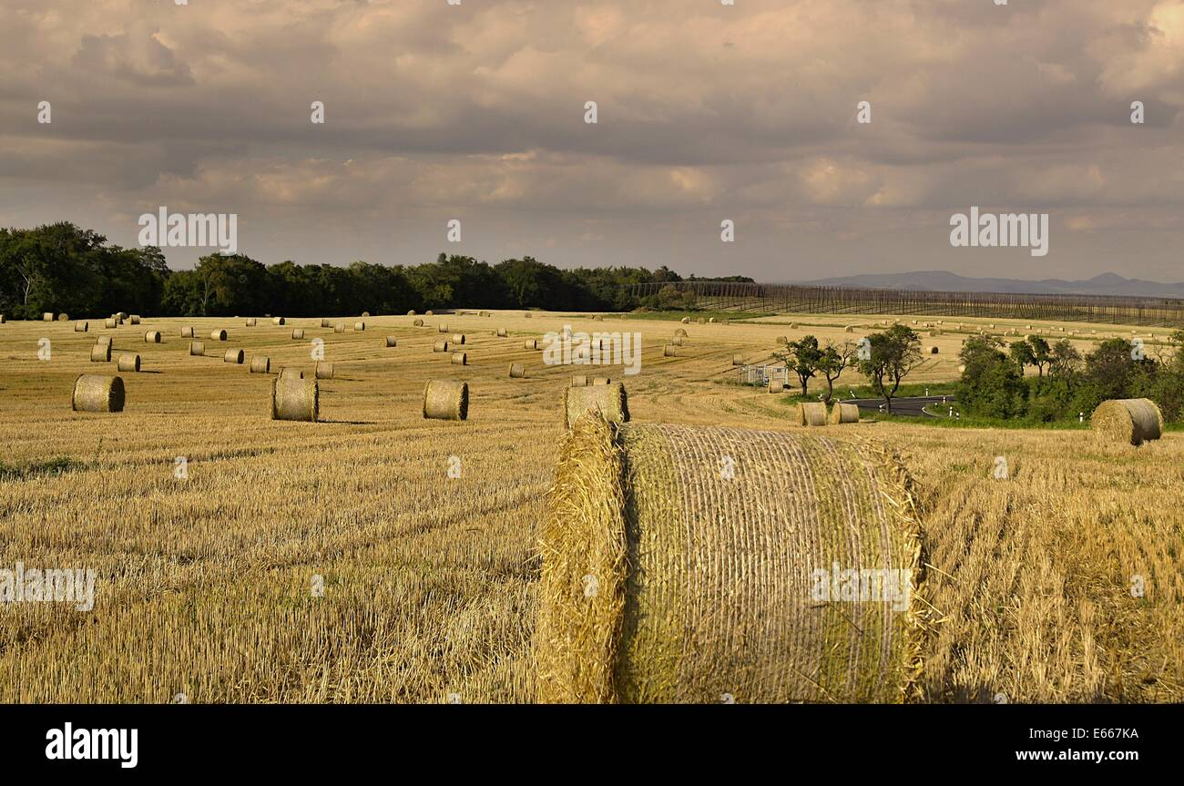 harvested field with straw bales in summer - Stock Image