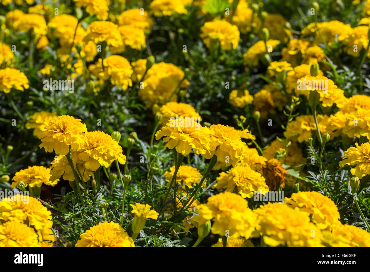 Yellow Aster Flowers In The Garden As Background Marigold Tagetes