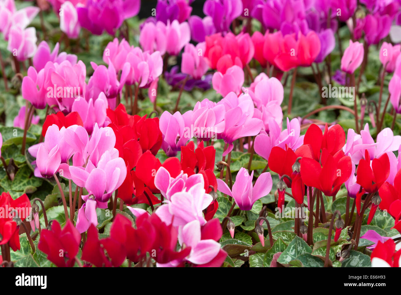 cyclamen red pink magenta white drift flowers - Stock Image