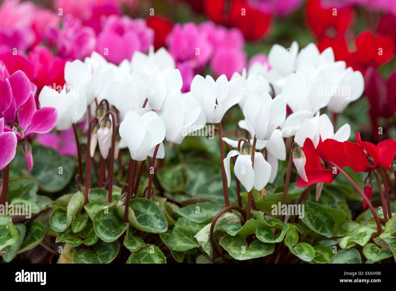 cyclamen white red pink magenta  drift flowers - Stock Image