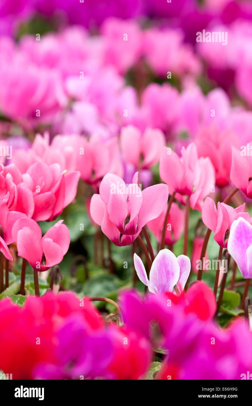 cyclamen red pink magenta drift flower flowers - Stock Image