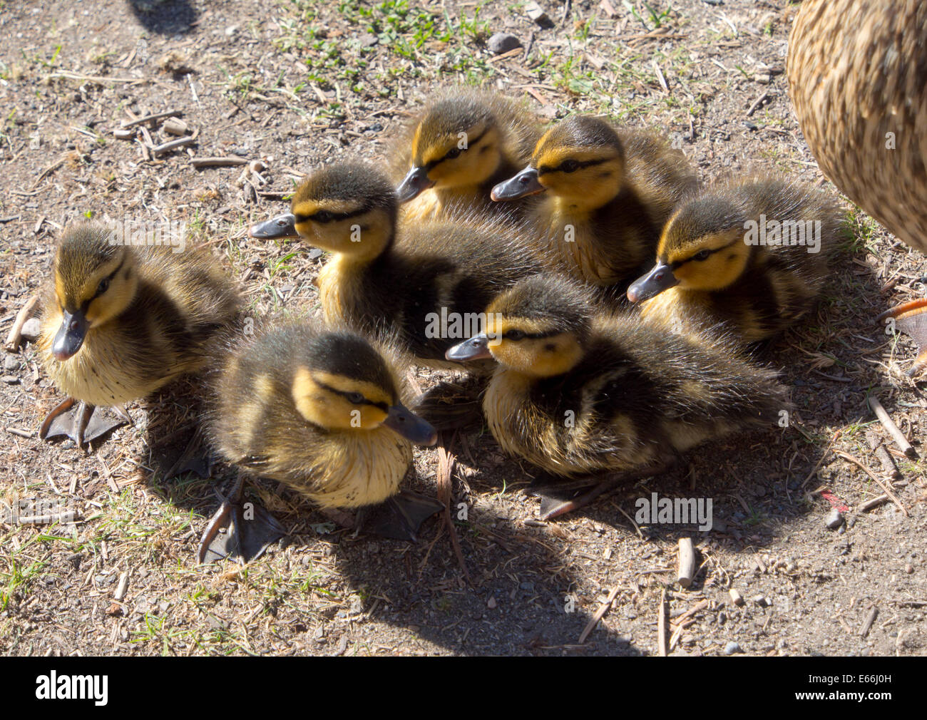 Seven mallard ducklings on dry land, Oslo Norway - Stock Image