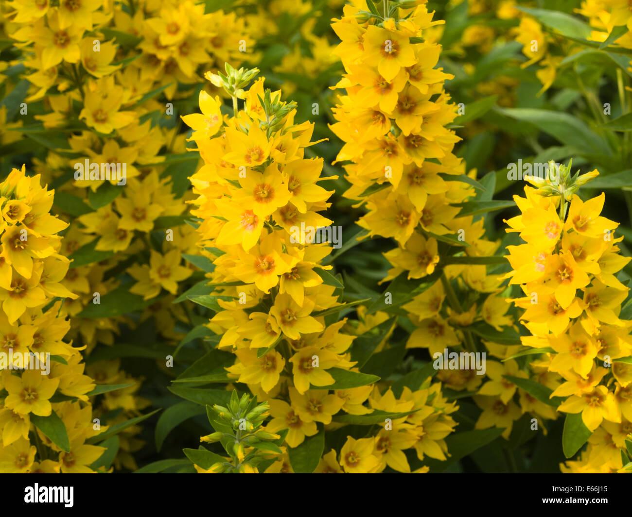 Garden yellow loosestrife stock photos garden yellow loosestrife lysimachia vulgaris yellow loosestrife or garden loosestrife grows willingly and spreads wherever planted here mightylinksfo