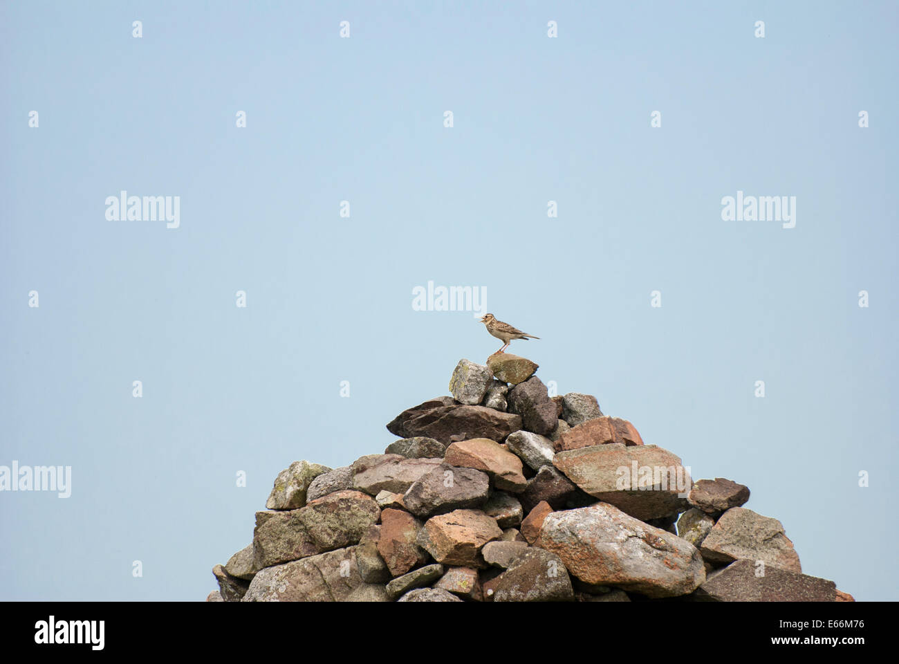 Skylark, perched and singing on top of of a stone Cairn, Northumberland, UK. - Stock Image