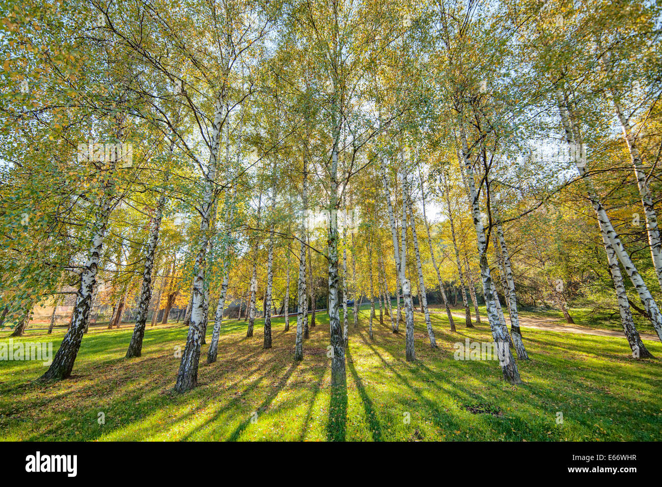 park with silver birch trees - Stock Image