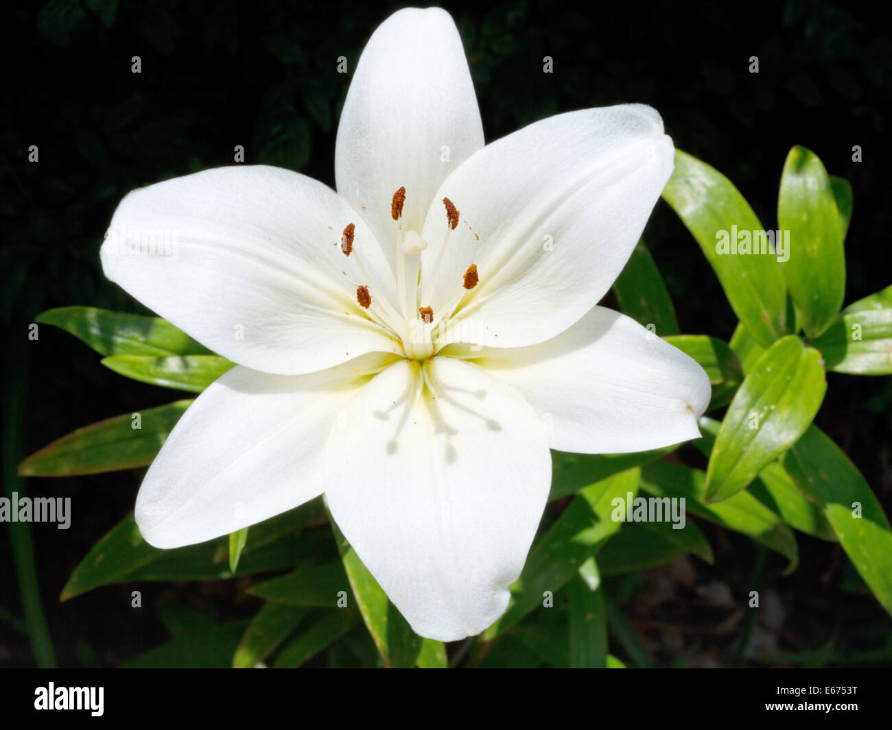 Above view of white flower of lilium candidum madonna lily close above view of white flower of lilium candidum madonna lily close up outdoors izmirmasajfo Gallery