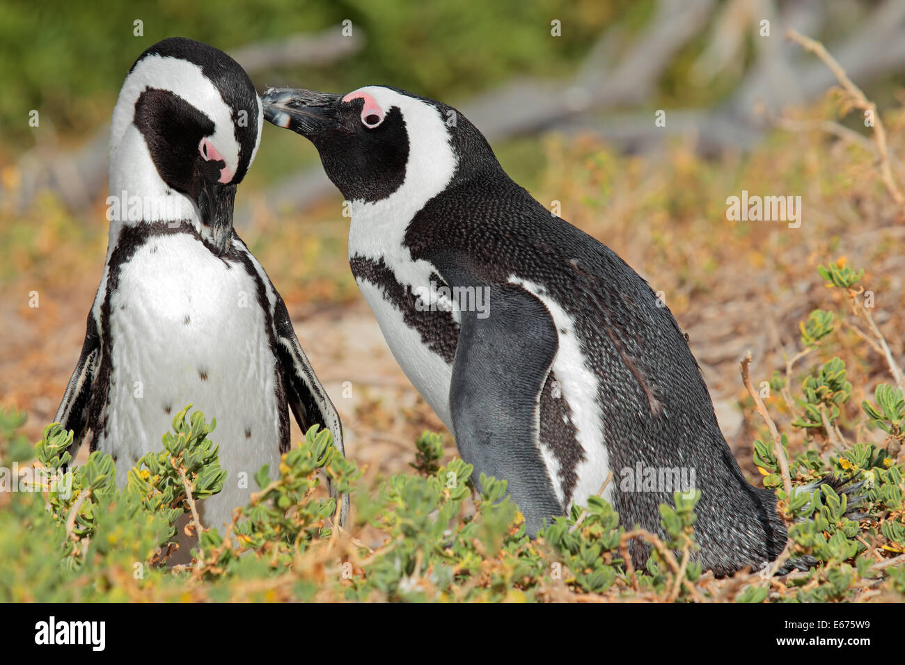 Breeding pair of African penguins (Spheniscus demersus), Western Cape, South Africa - Stock Image