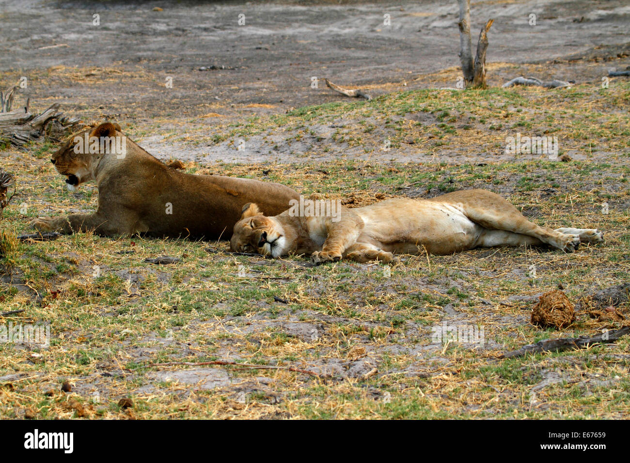 A pride of lions in Botswana, South Africa lazing about as lions do during daylight hours Stock Photo