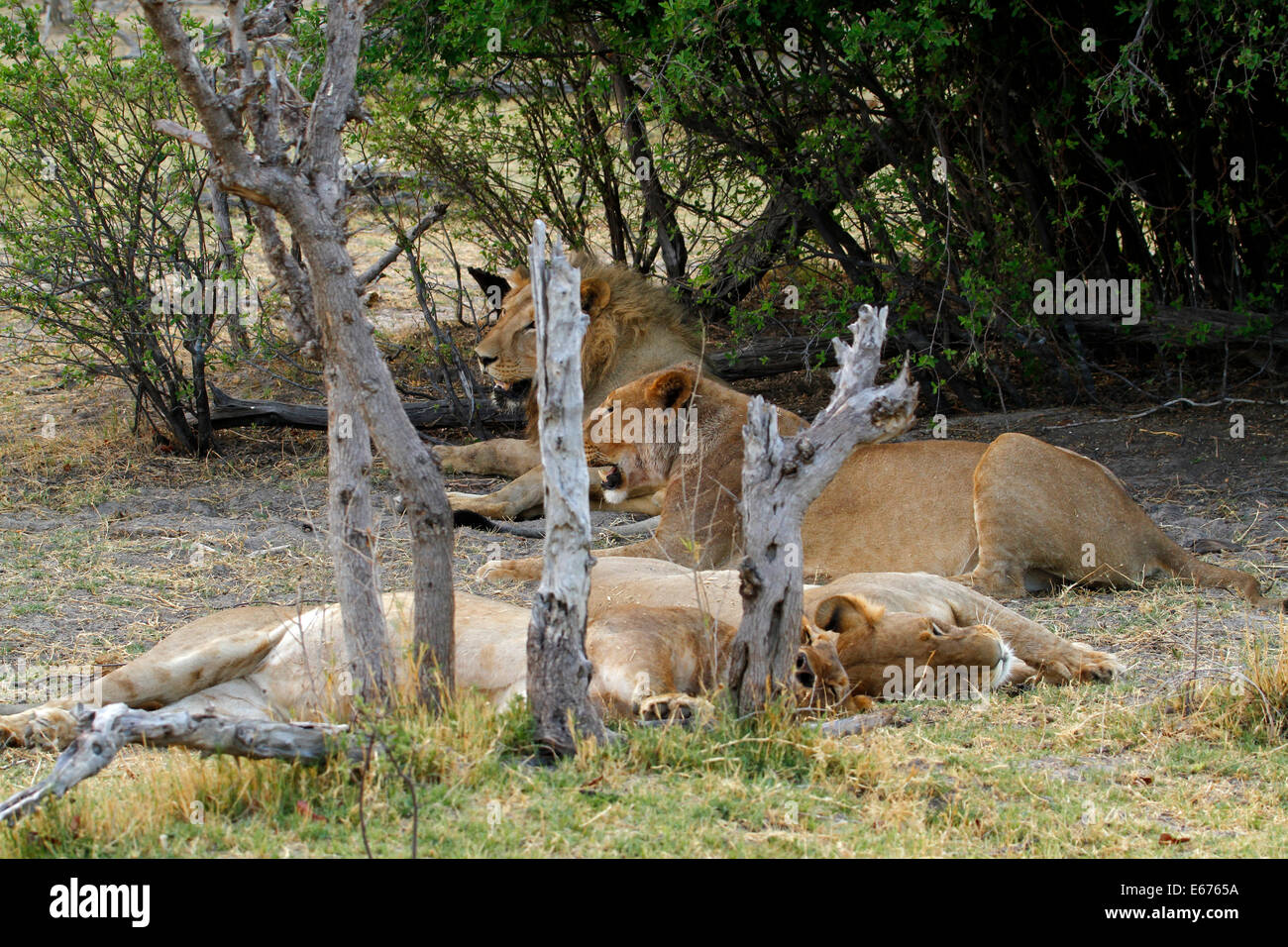 A pride of lions in Botswana, South Africa resting in the shade of the bush veld as they are crepuscular hunters Stock Photo
