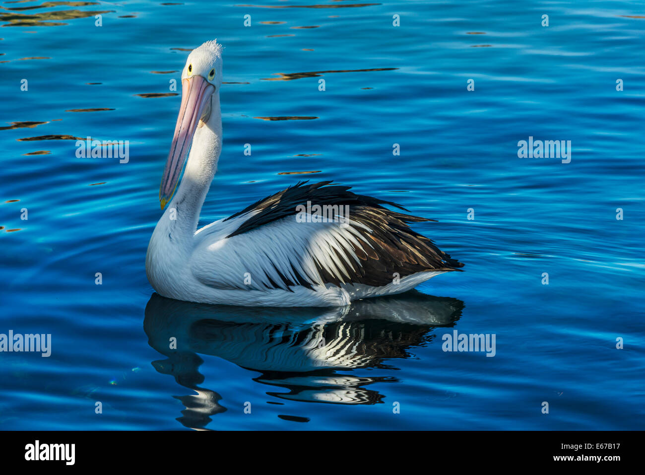 Pelican gliding on water at Quarantine Bay, Eden South Coast NSW Australia - Stock Image